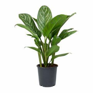 Chinese Evergreen (Aglaonema Costatum)