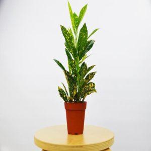 Baby Croton Plant