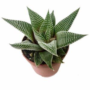 Haworthia limifolia – Succulent Plant