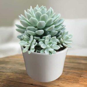 Pachyveria Scheideckeri – Succulent Plant