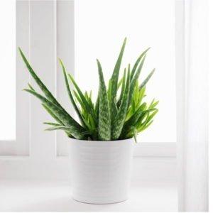 Aloe Vera Plant (Succulent)