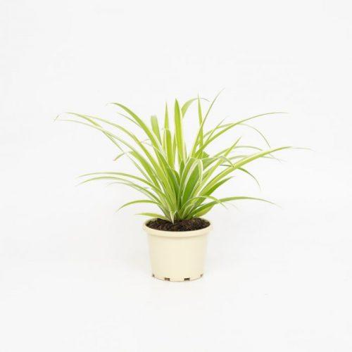 Spider_plant_indoor_plant_air_purifier_airifier